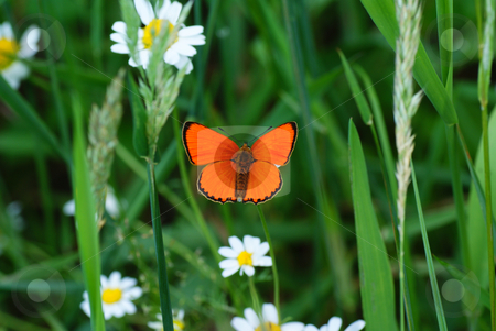 Butterfly stock photo, Orange butterfly sit on white flower by Jolanta Dabrowska