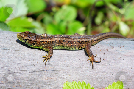 Lizard stock photo, Green- brown lizard on tree in forest by Jolanta Dabrowska