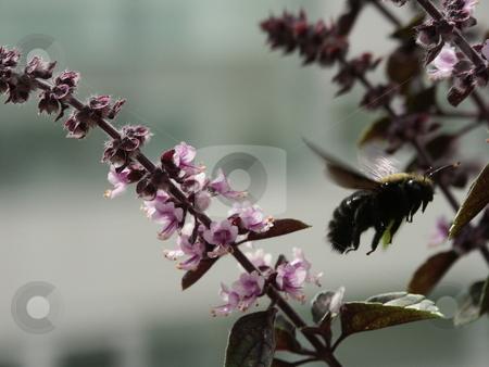 Flying bumblebee stock photo, Flying bumblebee near basil by Thomas K?