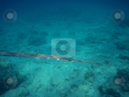 Pipefish stock photo, Pipefish in the red sea by Thomas K?