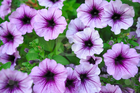 Beautiful Lavender Colored Flowers stock photo, Closeup of flowers in varying shades of purple with leaves in the background by Lynn Bendickson