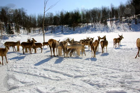 White-tailed deer stock photo, White-tailed deers in winter by Alain Turgeon