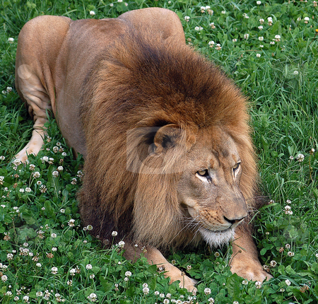 Lion stock photo, Close up portrait of a lion resting by Alain Turgeon