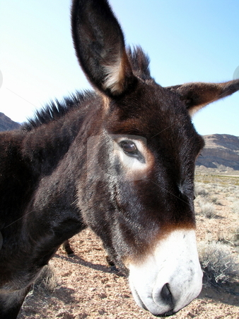 Burro stock photo,  by Ryan Dandy