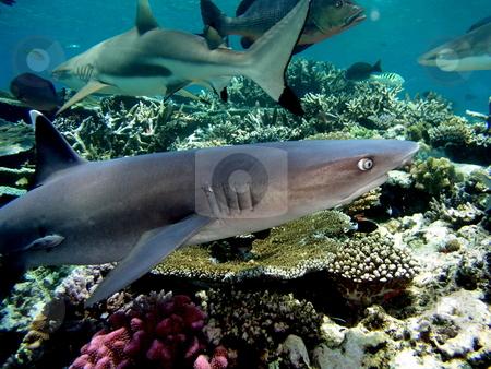 Whitetip Reef Shark stock photo,  by Ryan Dandy