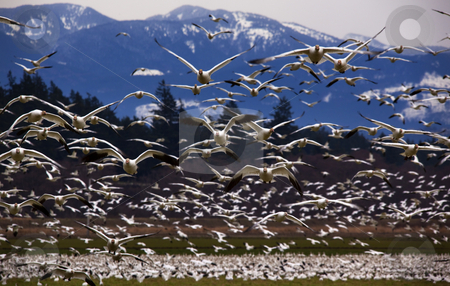 Thousands of Snow Geese Flying Directly At You stock photo, Thousands of Snow Geese Flying Directly Towards You Skagit County, Washington Snow Mountains in Background by William Perry