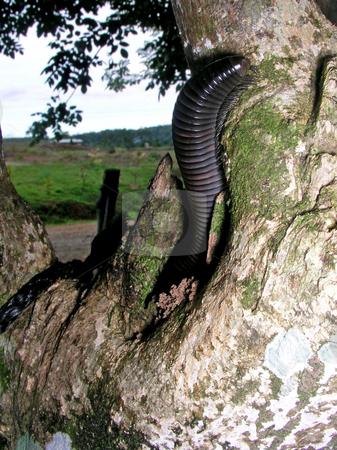 Giant Millipede stock photo,  by Ryan Dandy