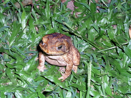 Cane Toad stock photo,  by Ryan Dandy