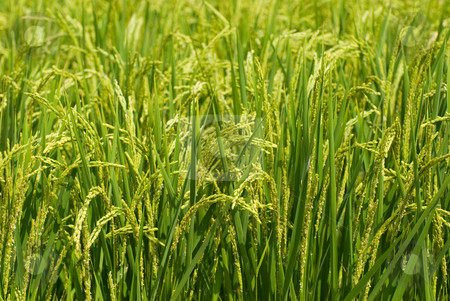 Green field stock photo, Green field, Asia paddy field by Lawren