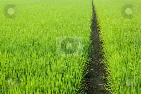 Path in Green field stock photo, Green field, Asia paddy field by Lawren
