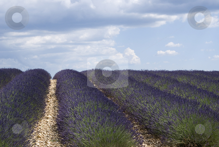 Lavender field stock photo, Lavender field in the region of Provence, southern France, photographed on a summer afternoon, just after a thunderstorm. by Serge VILLA