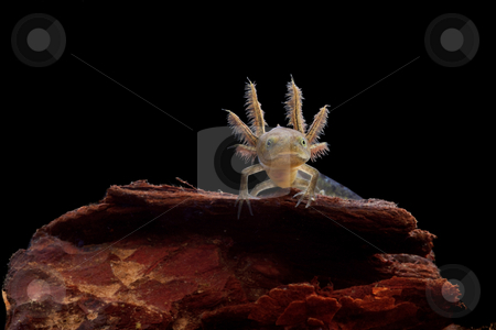 Crested newt larve stock photo, Crested newt larve showing its gills isolated on black background by Dirk Ercken