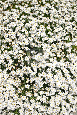 White Splendour flower (Anemone Blanda) stock photo, White Splendour flower (Anemone Blanda) by Stephen Rees