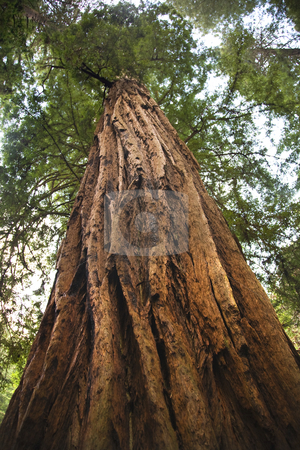 Large Redwood Tree Looking Straight Up Muir Woods National Monum stock photo, Large Redwood Tree Looking Straight Up Muir Woods National Monument Mill Valley San Francisco California by William Perry