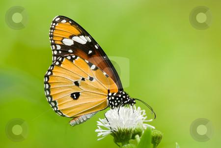 Milkweed butterfly (Anosia chrysippus, Danaidae) feeding on flower stock photo, Milkweed butterfly (Anosia chrysippus, Danaidae) feeding on flower by Lawren