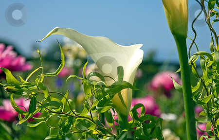 White Calla Lily in Garden Setting stock photo, This stunning white calla lily is gorgeous in a garden setting with interesting textured plants near by, the sun falling in a pleasing way and bright blue sky in background. by Valerie Garner