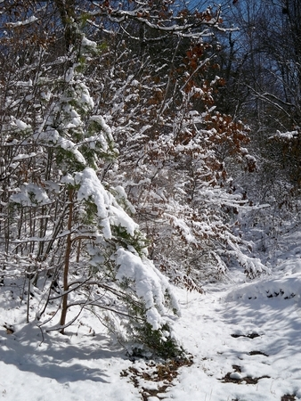 Snow on Trees stock photo, Snow accumulation on deciduous and evergreen trees under a blue sky. by Rebecca Ledford