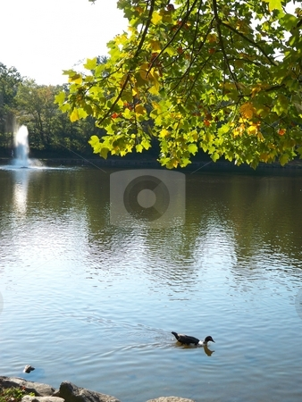 Duck on Pond stock photo, A duck on a pond or lake with fountain in the background and overhanging branch in the foreground. by Rebecca Ledford