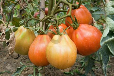 Pomodori stock photo, A group of ripe tomato in a biological cultivation by ANTONIO SCARPI