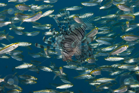 A common lionfish (Pterois miles) stock photo, A common lionfish (Pterois miles) waiting hunting amongst a school or shoal of Yellow-band fusilier (Pterocaesio chrysozona). by Mark Doherty