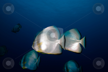 Two Circular batfish (Platax orbicularis) stock photo, Two Circular batfish (Platax orbicularis),side angle view. Red Sea Egypt. by Mark Doherty