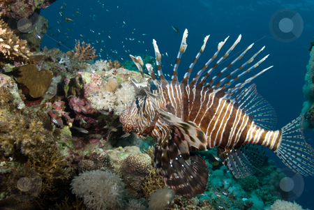 An adult Common lionfish (Pterois miles) side view stock photo, An adult Common lionfish (Pterois miles) waiting to strike at its' prey. Red Sea, Egypt. by Mark Doherty