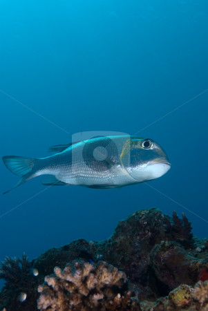 A side view of a Bigeye emperor (Monotaxis grandoculis) stock photo, A side view of a Bigeye emperor (Monotaxis grandoculis). Red Sea Egypt. by Mark Doherty