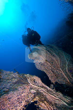 Giant sea fan (Annella mollis) stock photo, Giant sea fan (Annella mollis) with two divers silhouetted in the background, low angle view. Red Sea, Egypt. by Mark Doherty