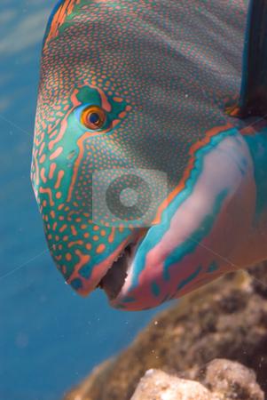 Bicolor parrotfish (Cetoscarus bicolor) stock photo, Bicolor parrotfish (Cetoscarus bicolor), Head shot,side view. Red Sea, Egypt. by Mark Doherty