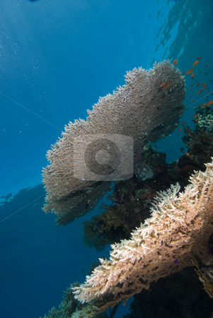 A heatlhy example of a Table Coral stock photo, A heatlhy example of a Table Coral (Acropora pharaonis). by Mark Doherty