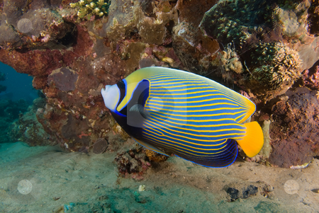 Side view of an Emperor angelfish (Pomacanthus imperator) stock photo, Side view of an Emperor angelfish (Pomacanthus imperator), Red Sea, Egypt. by Mark Doherty