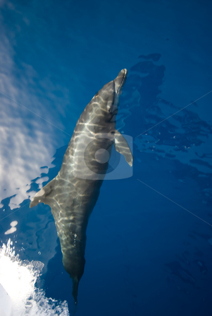 Bottlenose dolphin (Tursiops truncatus) stock photo, Bottlenose dolphin (Tursiops truncatus) at the surface on the bow wave of a boat. Red Sea,Egypt. by Mark Doherty