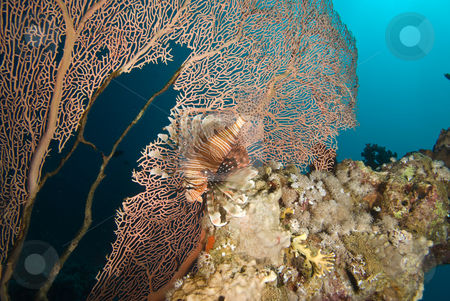 A partially diseased Sea Fan (Annella mollis) and Common lionfis stock photo, A partially diseased Sea Fan (Annella mollis) and Common lionfish (Pterois miles) investigating the coral reef, side view. Red Sea, Egypt. by Mark Doherty