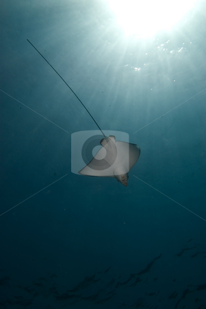 Spotted eagle ray (Aetobatis narinari)  stock photo, Spotted eagle ray (Aetobatis narinari) and sunbeams. Red Sea, Egypt. by Mark Doherty