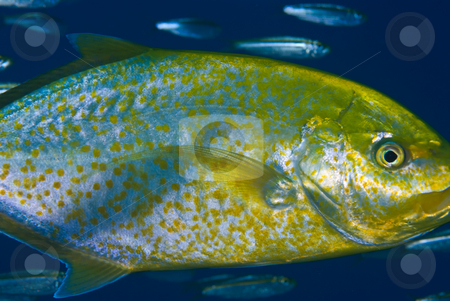 A side view of a Yellow-dotted trevally (Carangoides fulvoguttat stock photo, A side view of a Yellow-dotted trevally (Carangoides fulvoguttatus) shown here with it's juvenile colouring. Red Sea Egypt. by Mark Doherty