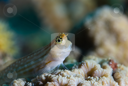 Red Sea combtooth blenny (Ecsenius dentex), side view stock photo, Red Sea combtooth blenny (Ecsenius dentex), side view. Red Sea, Egypt. by Mark Doherty
