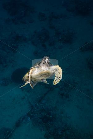 Hawksbill turtle (Eretmochelys imbricata) Critically Endangered stock photo, Hawksbill turtle (Eretmochelys imbricata) Critically Endangered by Mark Doherty