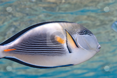 Arabian surgeonfish (Acanthurus sohal) stock photo, Arabian surgeonfish (Acanthurus sohal) in shallow water. Red Sea, Egypt by Mark Doherty