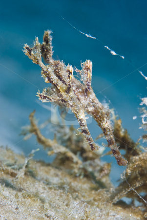 Fuzzy Ghost Pipefish (Solenostomus sp) stock photo, Fuzzy Ghost Pipefish (Solenostomus sp) disguised as seaweed , Side view, rare animal. Red Sea, Egypt. by Mark Doherty