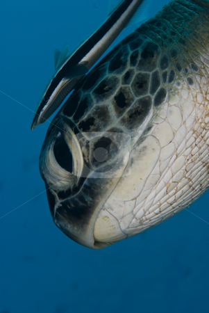 Green turtle (Chelonia mydas) ,endangered and Striped remora (Ec stock photo, Green turtle (Chelonia mydas) ,endangered and Striped remora (Echeneis naucrates). Side view head shot. Red Sea, Egypt. by Mark Doherty