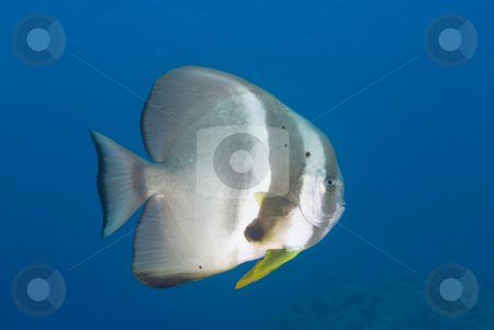 An adult Circular batfish (Platax orbicularis) stock photo, An adult Circular batfish (Platax orbicularis) side view,full length. Red Sea, Egypt by Mark Doherty