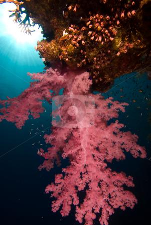 Vibrant Broccoli coral (Dendronephthya klunzingeri) stock photo, Vibrant Broccoli coral (Dendronephthya klunzingeri). Red Sea, Egypt. by Mark Doherty