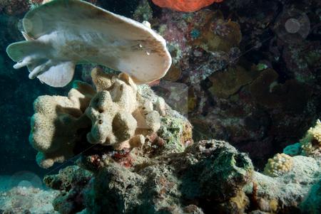 The underside of Marbled torpedo ray (Torpedo sinuspersici) stock photo, The underside of Marbled torpedo ray (Torpedo sinuspersici). Red Sea, Egypt by Mark Doherty