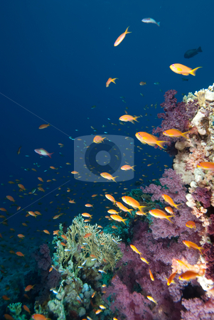 A school of Lyretail anthias (Pseudanthias squamipinnis) stock photo, A school of Lyretail anthias (Pseudanthias squamipinnis) over a coral reef. Red Sea, Egypt. by Mark Doherty