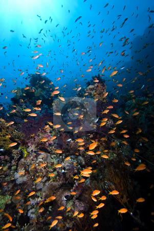 A school of Lyretail anthias (Pseudanthias squamipinnis) stock photo, A school of Lyretail anthias (Pseudanthias squamipinnis) over a coral reef. Red Sea, Egypt. by Mark Doherty