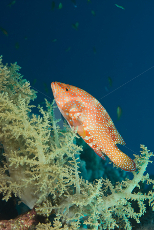 A Coral hind or grouper (Cephalopholis miniata) and soft coral stock photo, A Coral hind or grouper (Cephalopholis miniata) and soft coral, side view. Red Sea, Egypt. by Mark Doherty