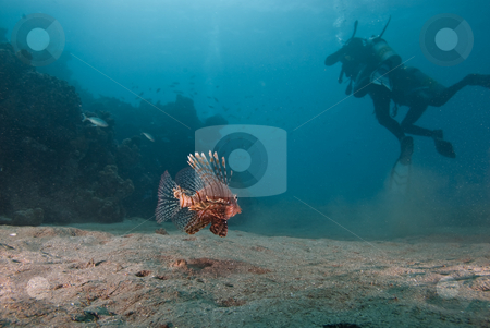 Common lionfish (Pterois miles) stock photo, Common lionfish (Pterois miles) on sandy seabed with divers in the background. Red Sea, Egypt by Mark Doherty