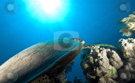 A juvenile Hawksbill turtle (Eretmochelys imbricata) stock photo, A juvenile Hawksbill turtle (Eretmochelys imbricata) and sun, underneath view. Red Sea, Egypt. by Mark Doherty