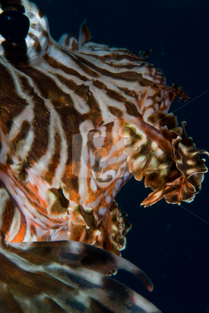 Adult Common lionfish (Pterois miles),Close up stock photo, A close up side view of an adult Common lionfish (Pterois miles). Red Sea, Egypt. by Mark Doherty