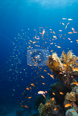 Golden coloured school and coral reef stock photo, Golden coloured school and coral reef. Red Sea, Egypt by Mark Doherty